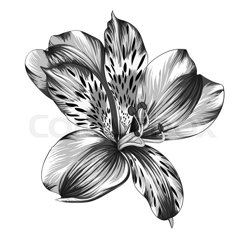 Beautiful monochrome black and white alstroemeria flower with beautiful monochrome black and white alstroemeria flower with watercolor effect isolated on background for greeting card and invitations of wedding mightylinksfo