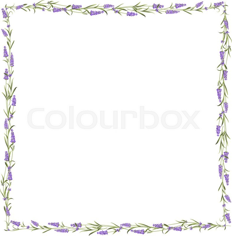 The Lavender frame line. Bunch of lavender flowers on a white ...