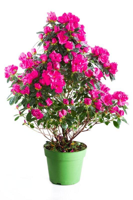 bl hende pflanzen von rosa azalee in gr n blumentopf isoliert auf wei stockfoto colourbox. Black Bedroom Furniture Sets. Home Design Ideas