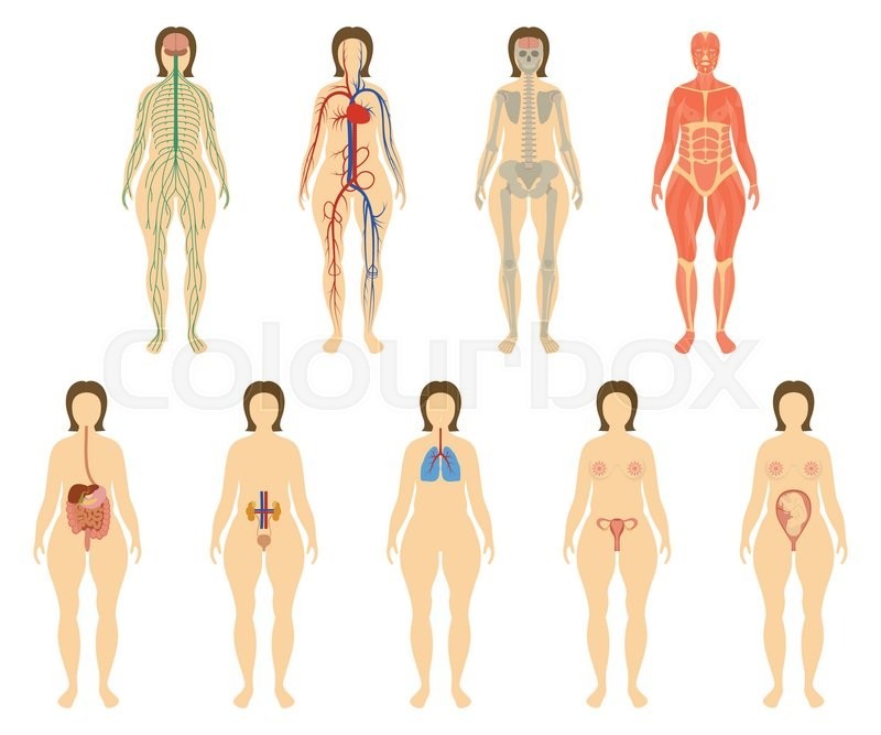 Set Of Human Organs And Systems Of The Body Vitality Nervous