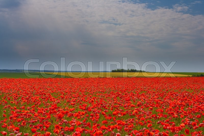 Stock image of 'The huge field of red poppies flowers. Sun and clouds. View of a lot of poppies'