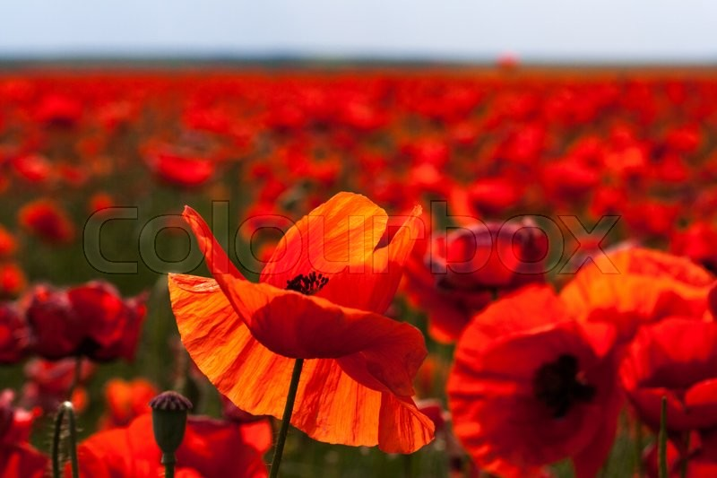 Stock image of 'The huge field of red poppies flowers. Sun and clouds. View many of poppies and close-up'