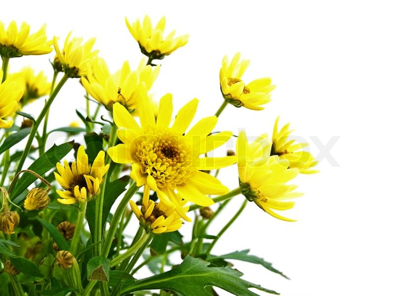 Yellow Flowers Over White Background Stock Photo Colourbox
