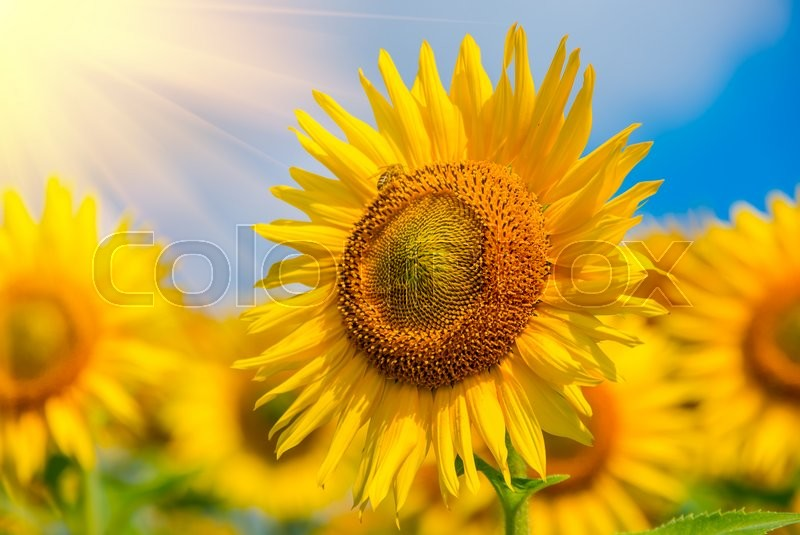 Stock image of 'Blooming sunflowers on a background of blue sky'