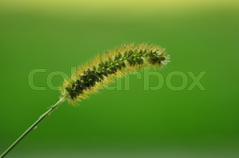 Stock image of 'grass flower close up'