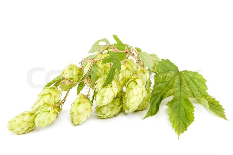 Stock image of 'Hop isolated on white background.'
