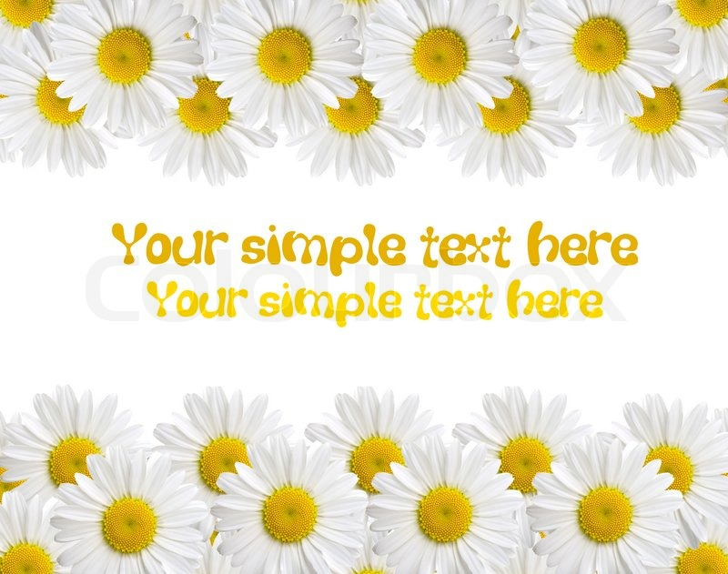 Camomile isolated on white background with with room for text, stock photo