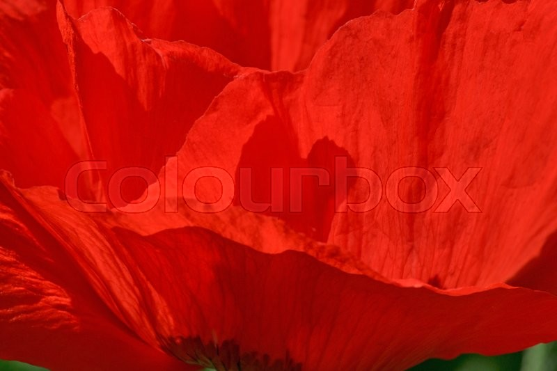 Stock image of 'Close up of red poppy flower'