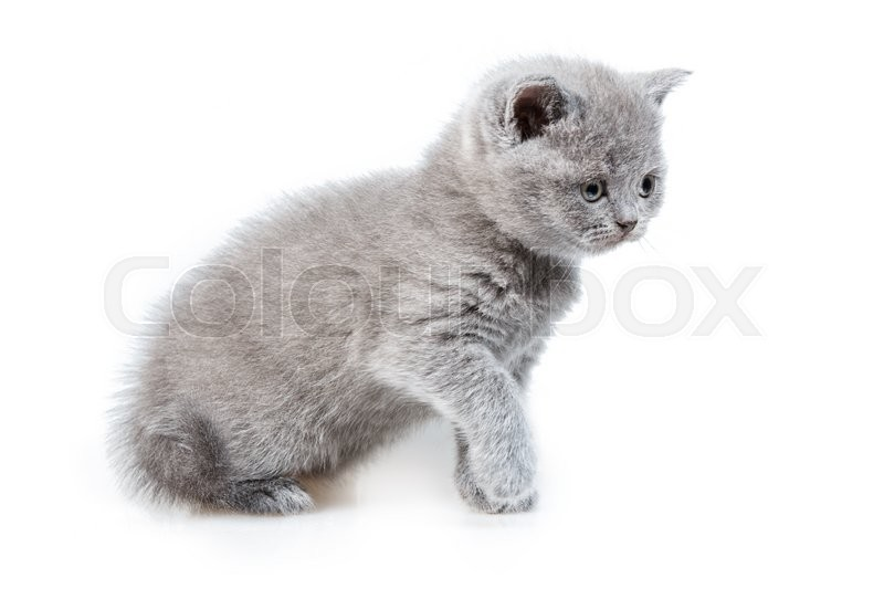 Stock image of 'British lop-eared kitten Isolated on white background'