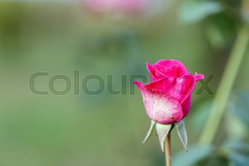 Stock image of 'red rose outside against the backdrop of greenery'