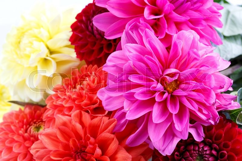 Stock image of 'Chrysanthemum Isolated on white background'
