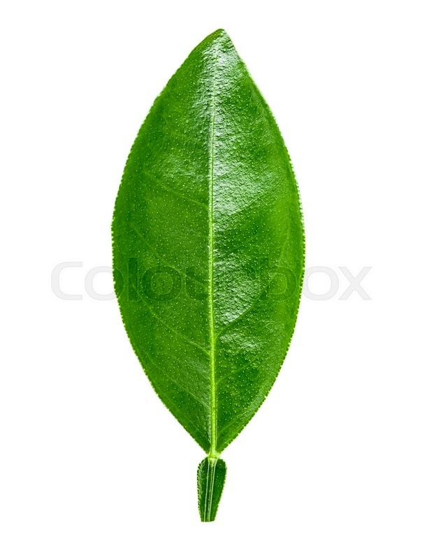 Stock image of 'lime leaf Isolated on white background Clipping Path'