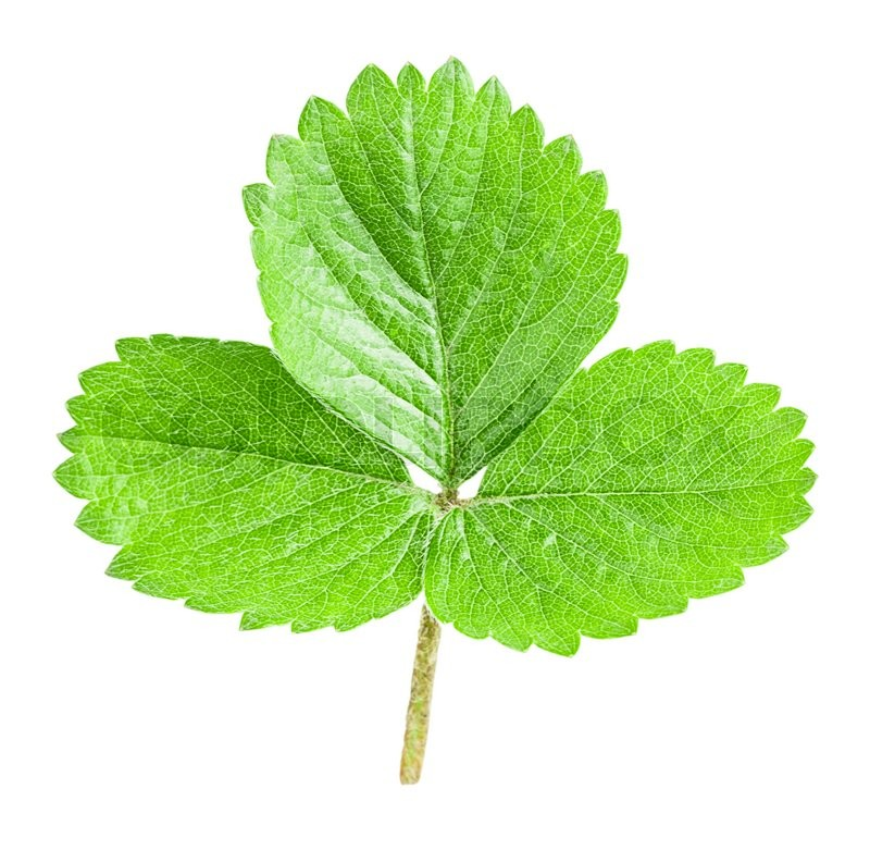 Stock image of 'strawberry leaf Isolated on white background Clipping Path'