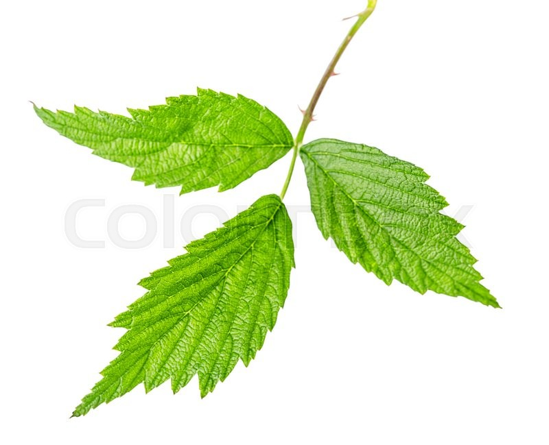 Stock image of 'raspberry leaves Isolated on white background Clipping Path'