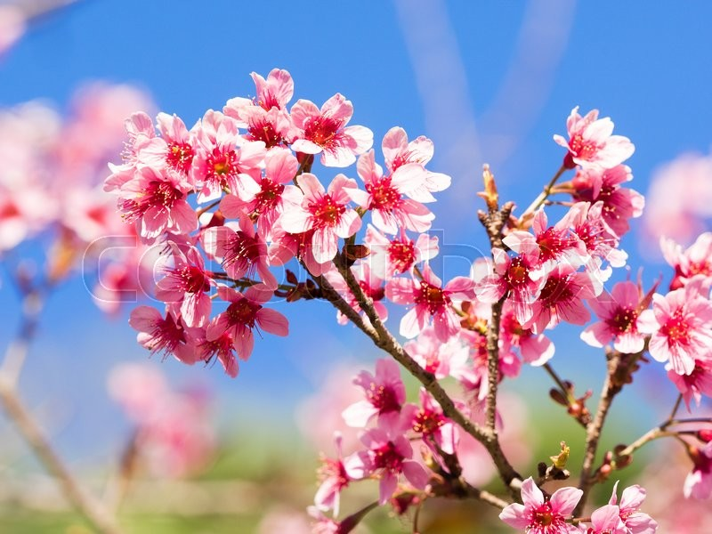 Stock image of 'Sakura Sakura Pink Cherry blossoms flowers in Thailand'