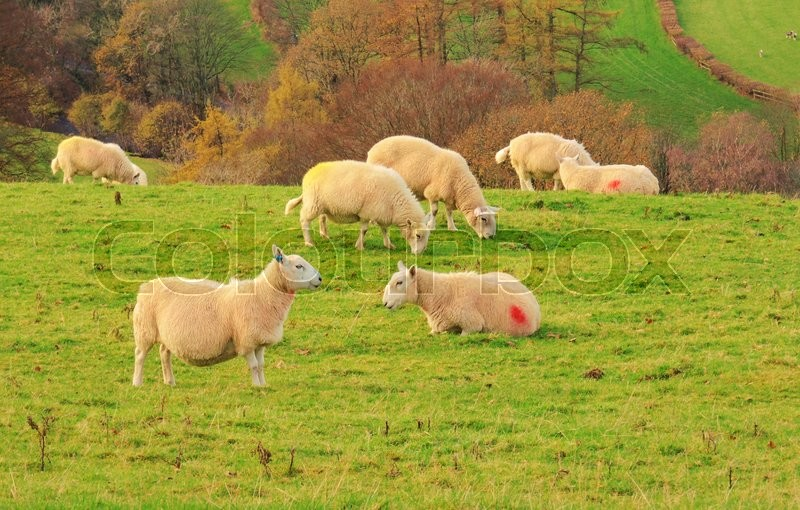 Stock image of 'An image of sheep grazing in the English Lake District.'