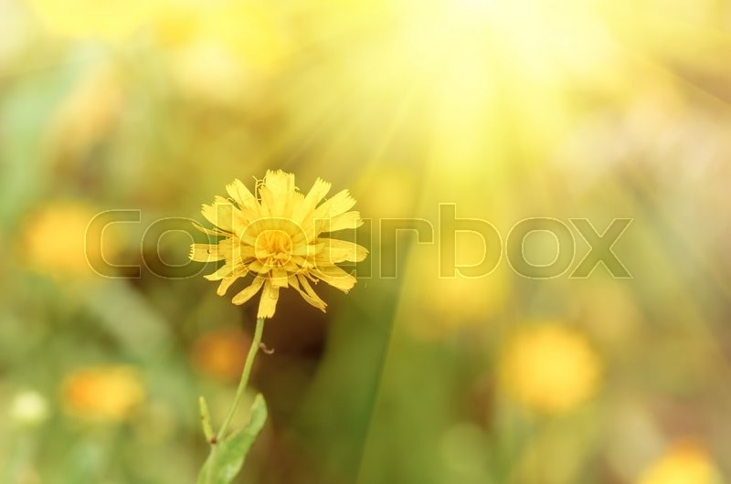 Stock image of 'background with beautiful yellow flower in spring and summer'