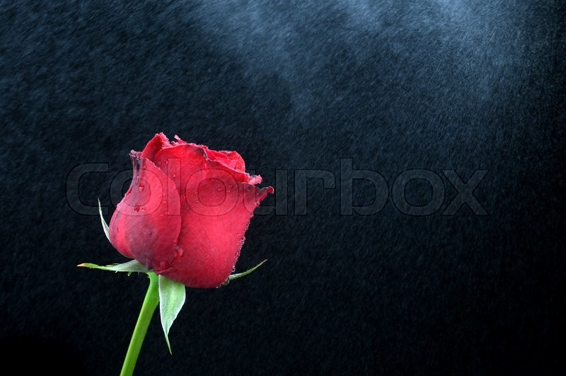 Stock image of 'valentine red rose in fresh  water spray fog'
