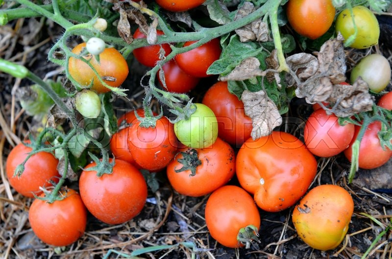 Stock image of 'super beautiful fresh colorful tomato from nature farm'