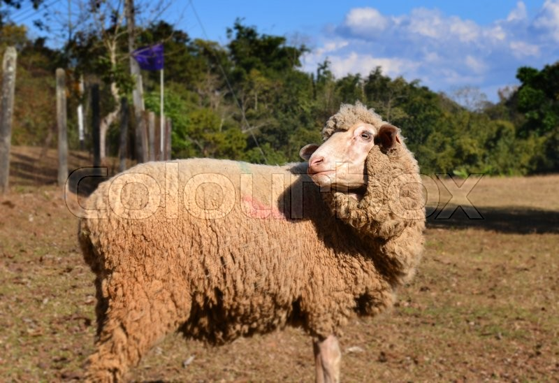 Stock image of 'sheep in zoo farm for traveler to look and teavel at the north of thailand'