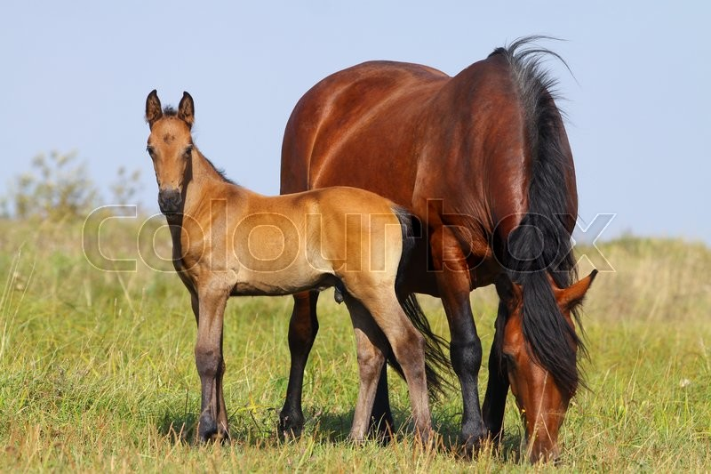 Stock image of 'Mare and foal on a pasture together'
