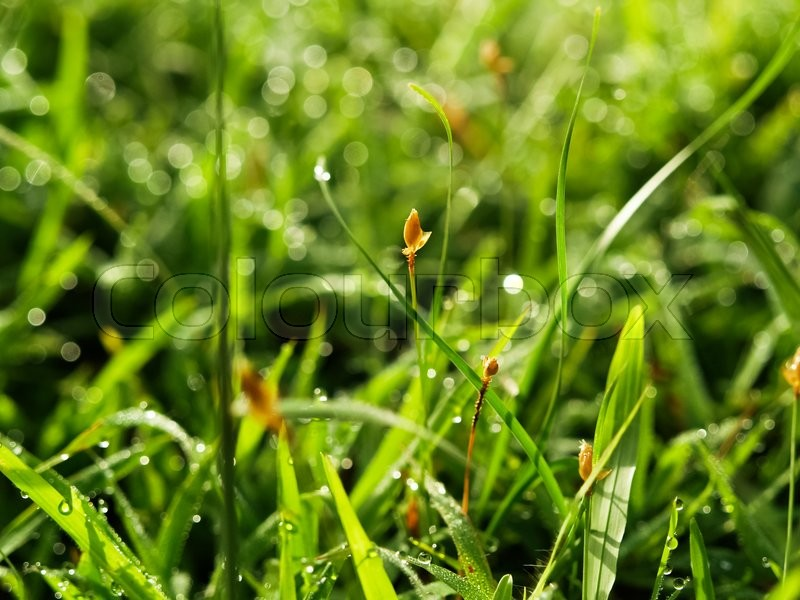 Stock image of 'Background of dew drops on bright green grass'