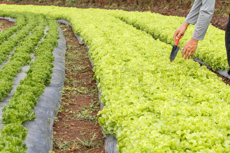 Stock image of 'Vegetable garden ,with plastic film protected in land,The plastic film used vegetable insulation and prevent soil erosion'