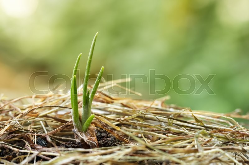 Stock image of 'Close up   onion seedling growing in the garden.'