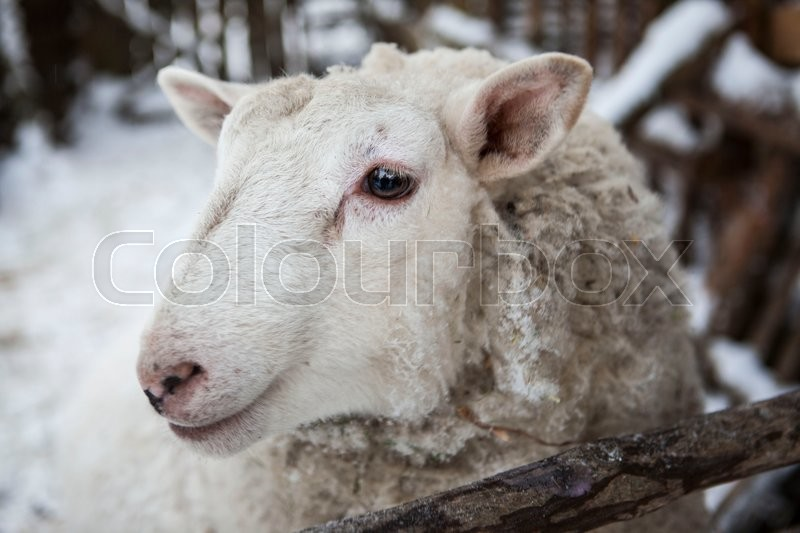 Stock image of 'Large sheep in the snow in the winter in a shelter in a rustic farm.'