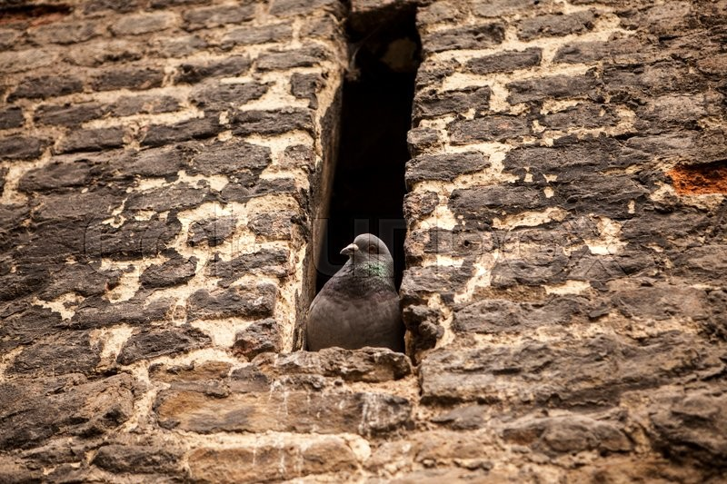 Stock image of 'Grey postal pigeon sitting in the window of an old fortress.'