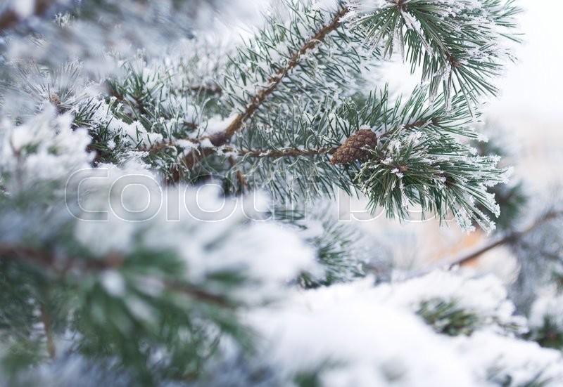Fir tree branches in snow in the winter on a white background, stock photo