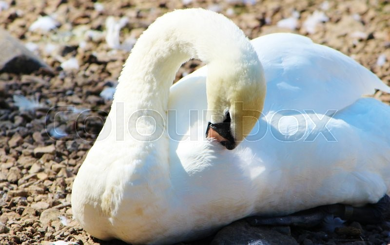 Stock image of 'A close-up image of an adult Mute Swan.'