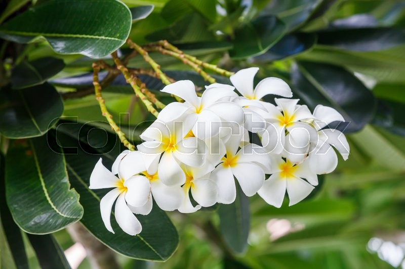 Stock image of 'Close up bunch of white plumeria flower on tree'