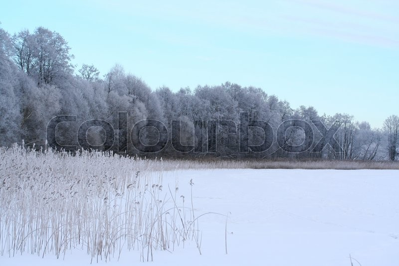 Stock image of 'Winter lake, reed and forest covered with snow'