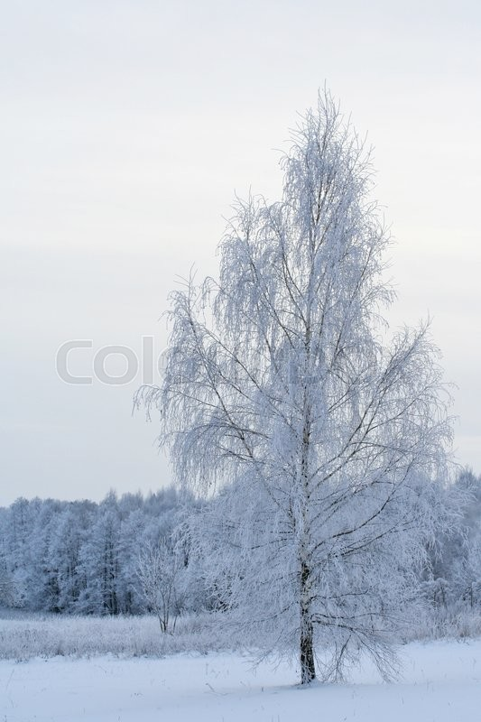 Stock image of 'Winter field and tries covered with snow, birch on lake shore'