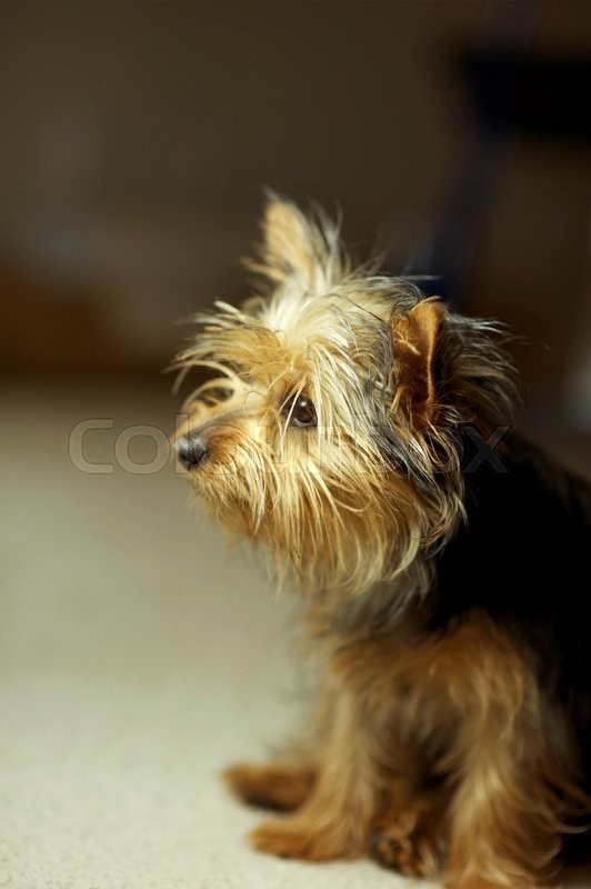 Stock image of 'Puppy Silky Terrier Dog Portrait. Seating Puppy Dog.'