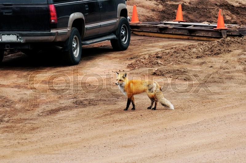 Stock image of 'Fox in Human Populated Area Looking for Food.'