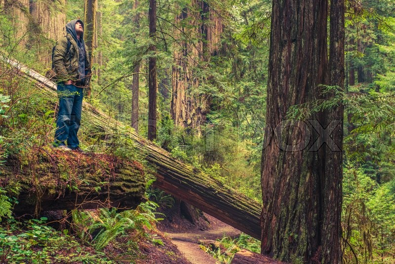 Stock image of 'Forest Trail Hiker Enjoying Redwood Forest Scenery While Staying on the Fallen Redwood Tree.'
