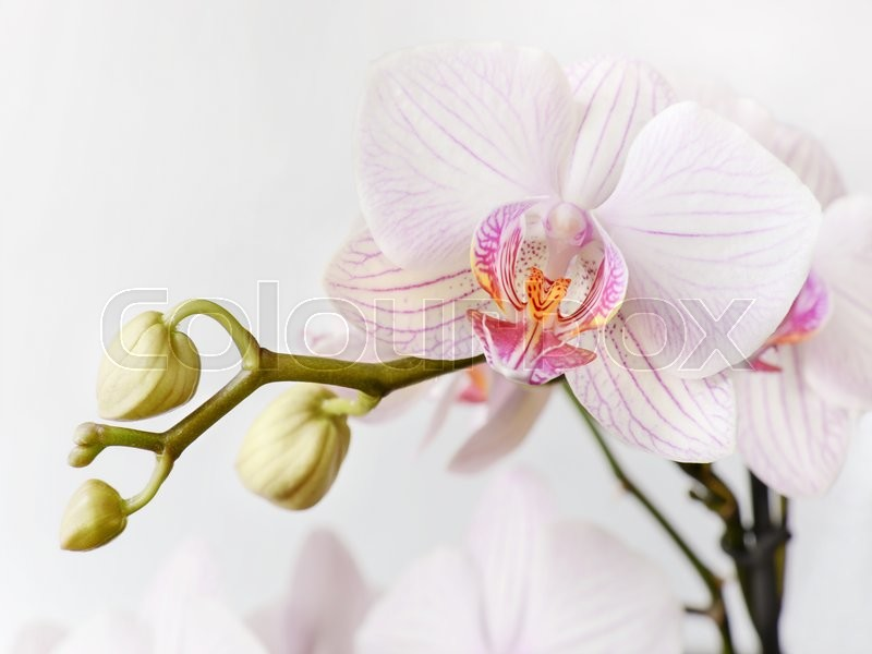 Stock image of 'Branch of white and pink orchid phalaenopsis flower on a white background'