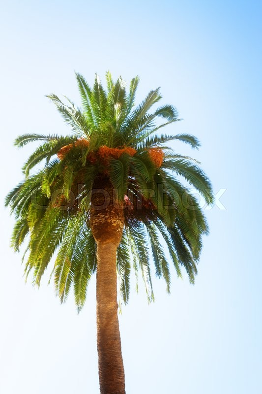 Stock image of ' figue palm trees on blue sky, retro toned'