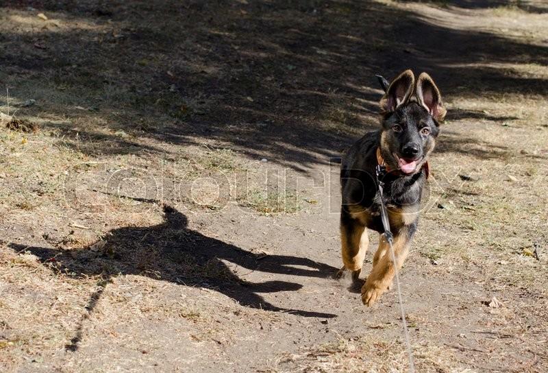 Cute German shepherd puppy running outdoors, stock photo