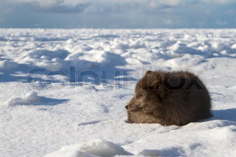 Stock image of 'Commanders blue arctic fox that lies on the beach on a background of ice floes sunny winter day'