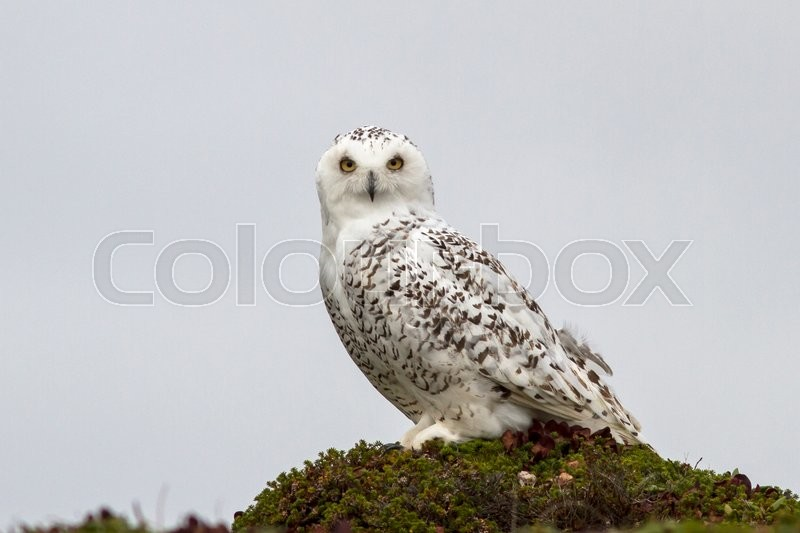 Stock image of 'Snowy owl is sitting on a hummock tundra cloudy day'