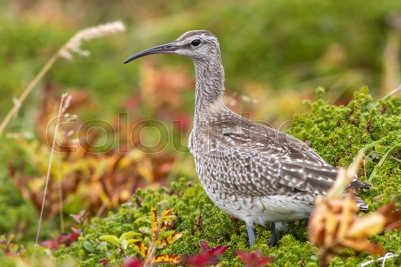 Stock image of 'Whimbrel standing in the tundra autumn overcast day'