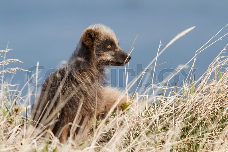 Stock image of 'Commanders blue arctic fox sitting near the burrow among dry grass windy spring day'
