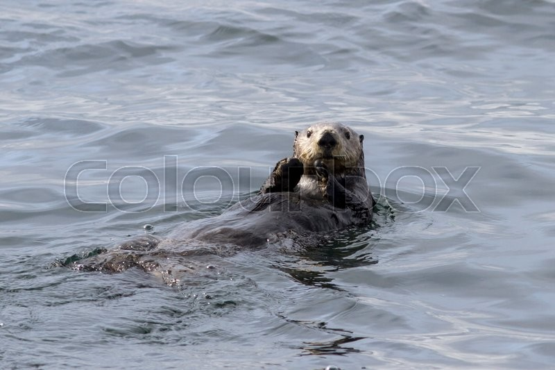 Stock image of 'Sea otter that sails along the coast on the back of an autumn day'