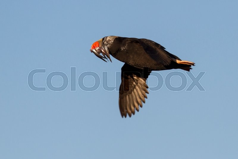Stock image of 'Tufted puffin a transitional dress flying with a fish in its beak summer day'