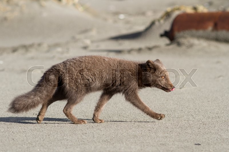 Stock image of 'young Commanders blue arctic fox that runs along the seashore autumn day'
