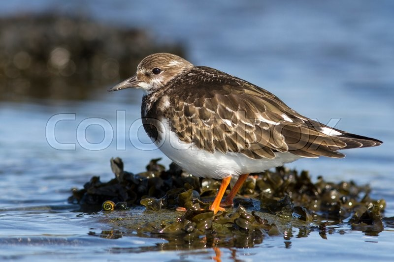 Stock image of 'Young Turnstone which stands in the water autumn day'