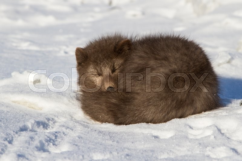 Stock image of 'Commanders blue arctic fox who sleeps curled up winter day'